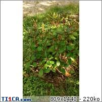 rhododendron qui ne fleuri pas arbres arbustes et rosiers forum du jardin et du jardinage. Black Bedroom Furniture Sets. Home Design Ideas